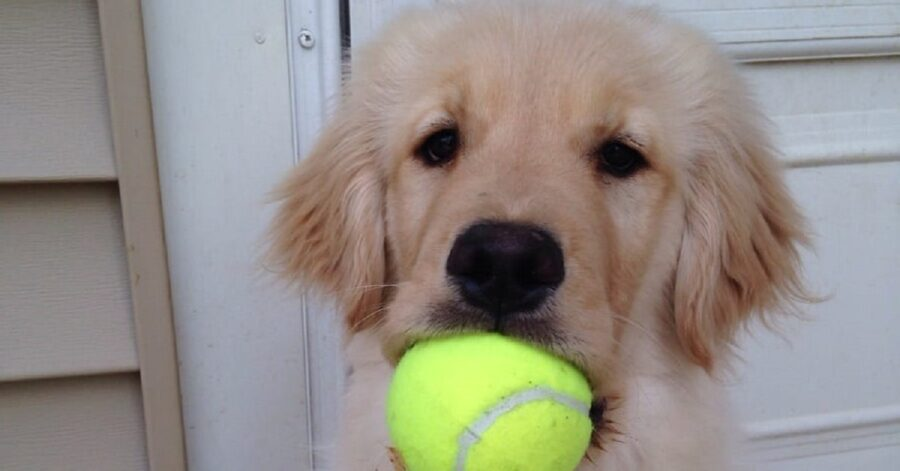 vivere con un Golden Retriever-pallina