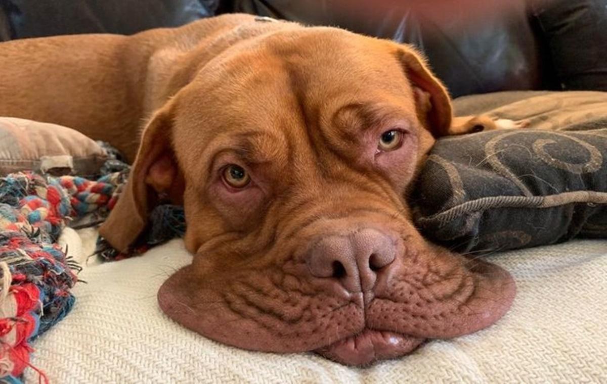 10 cani che sembrano sciogliersi-cane con muso floscio
