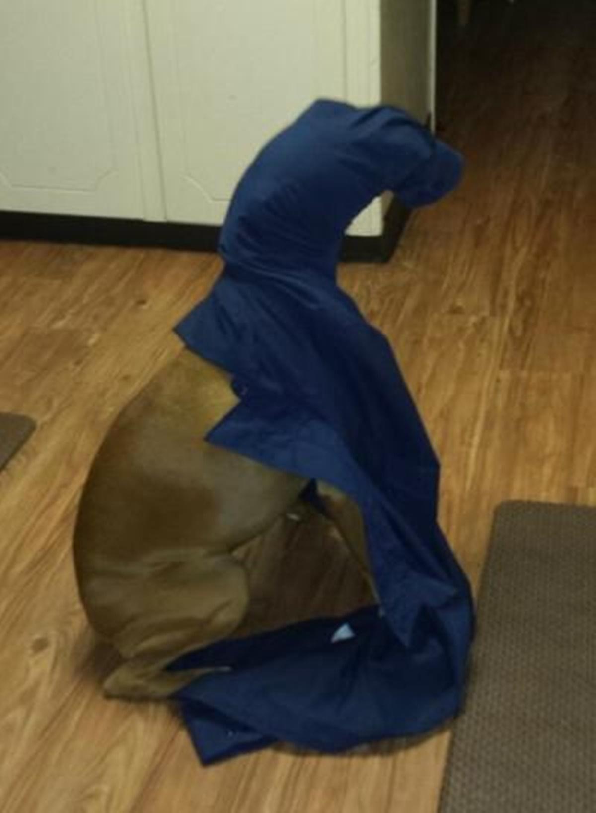 cane dentro la coperta
