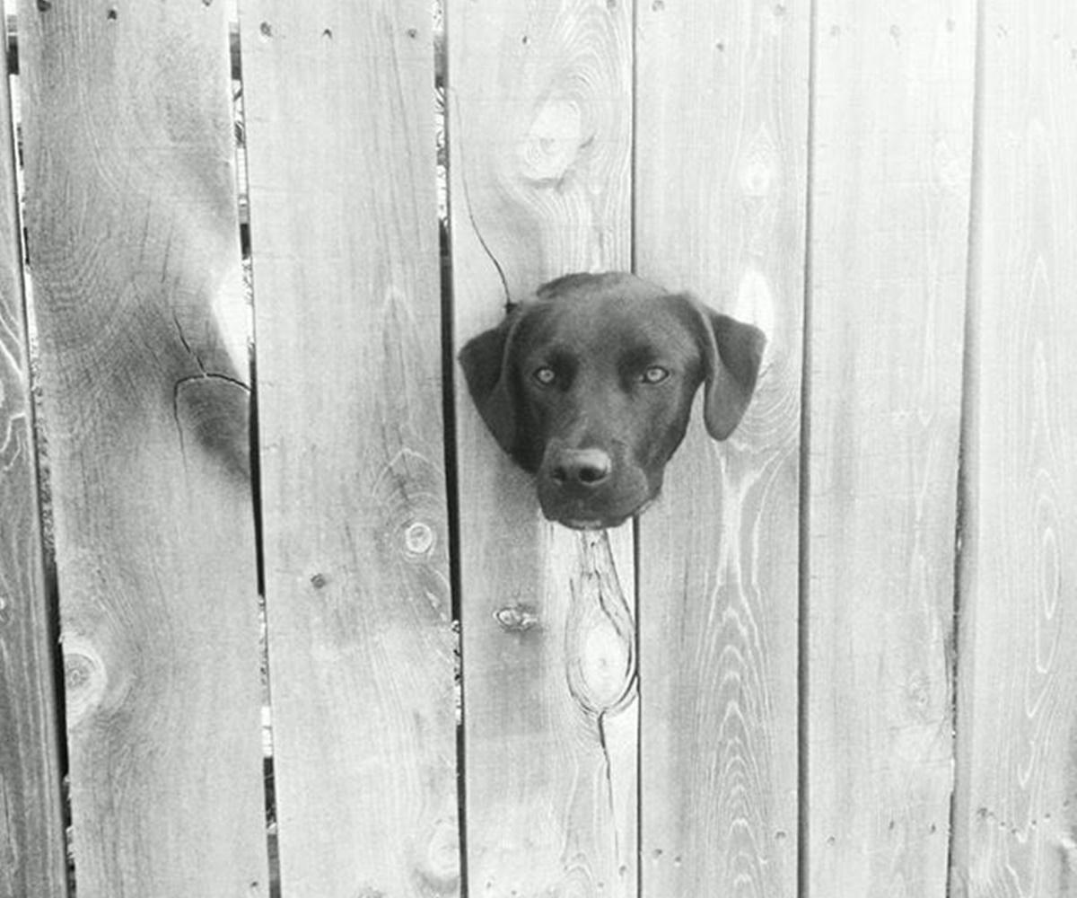 10 cani che si sono incastrati-cane nella recinzione