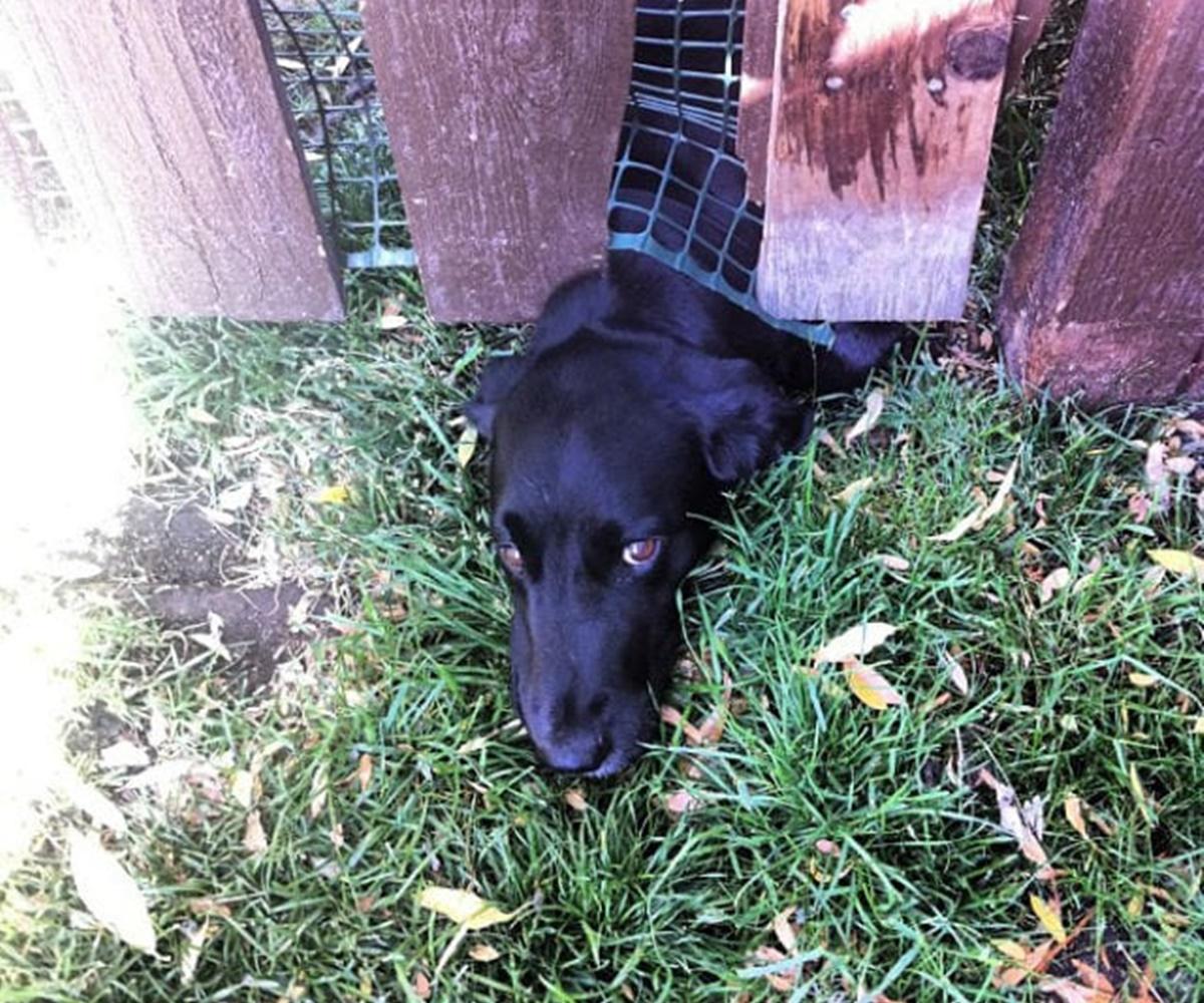 10 cani che si sono incastrati-cane sotto la recinzione
