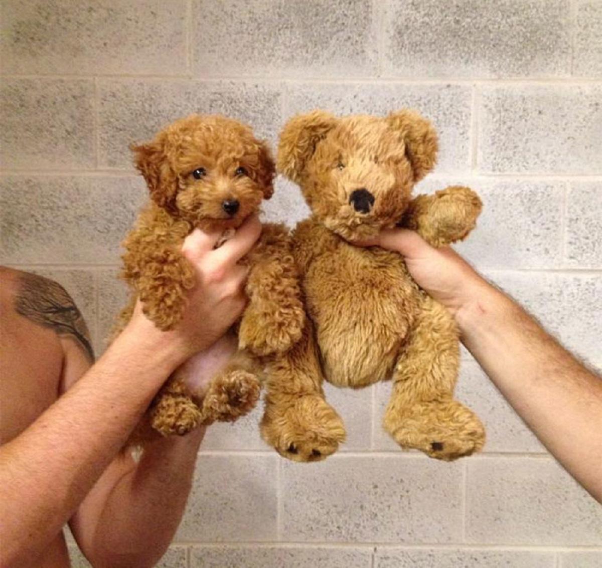 10 cani che somigliano ad altro-orsetto
