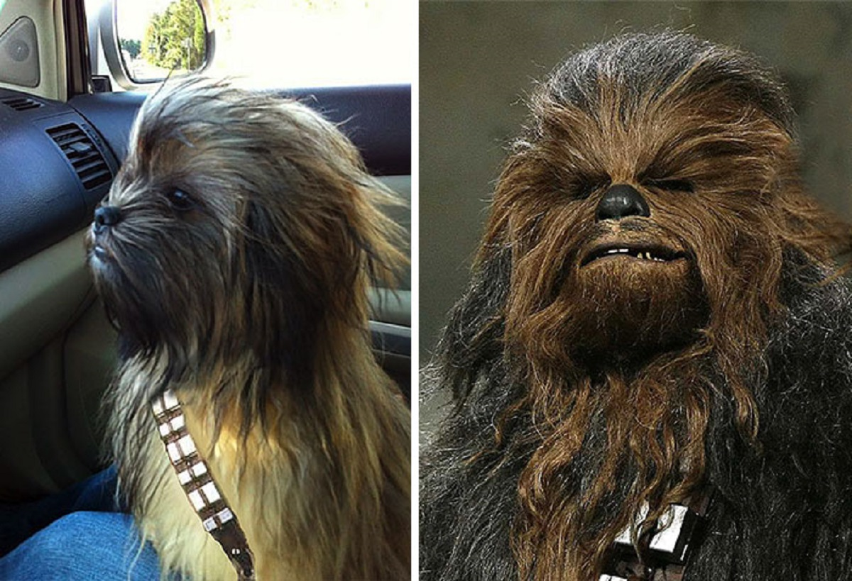 10 cani che somigliano ad altro-chewbacca