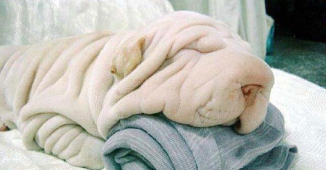 10 cani che somigliano ad altro-asciugamani