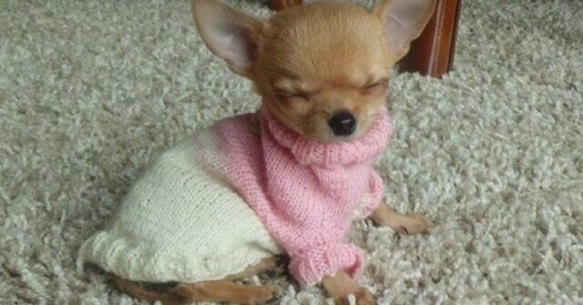 cagnolina che dorme in piedi