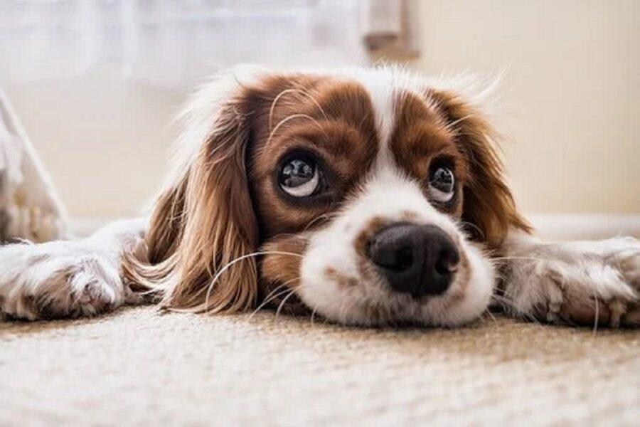 cane annoiato foto