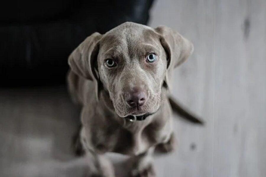cane sguardo occhi