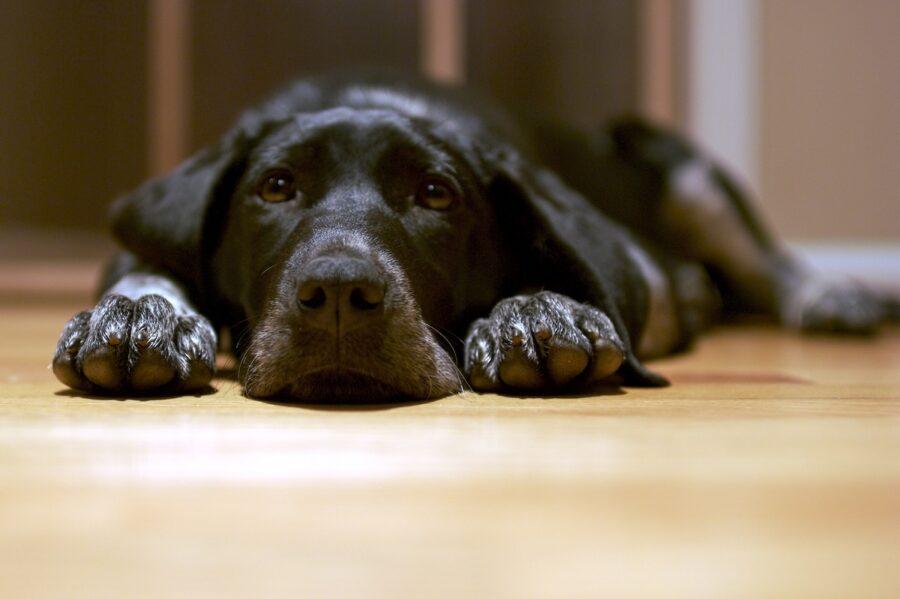 cane labrador sdraiato