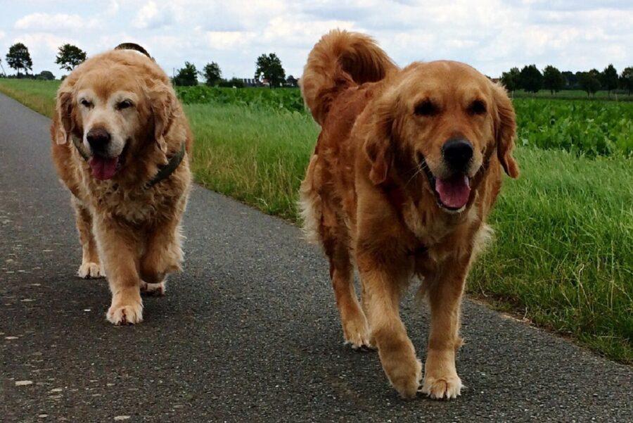 cani amici camminano