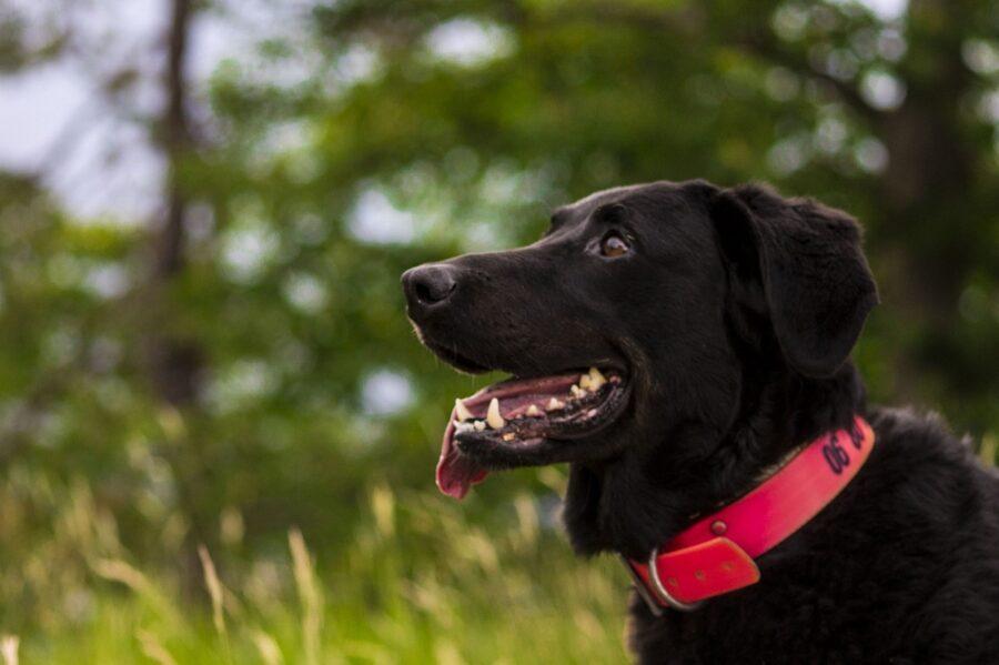 cane bosco foto