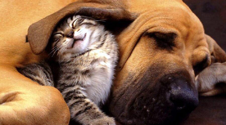 gatto riposa orecchio