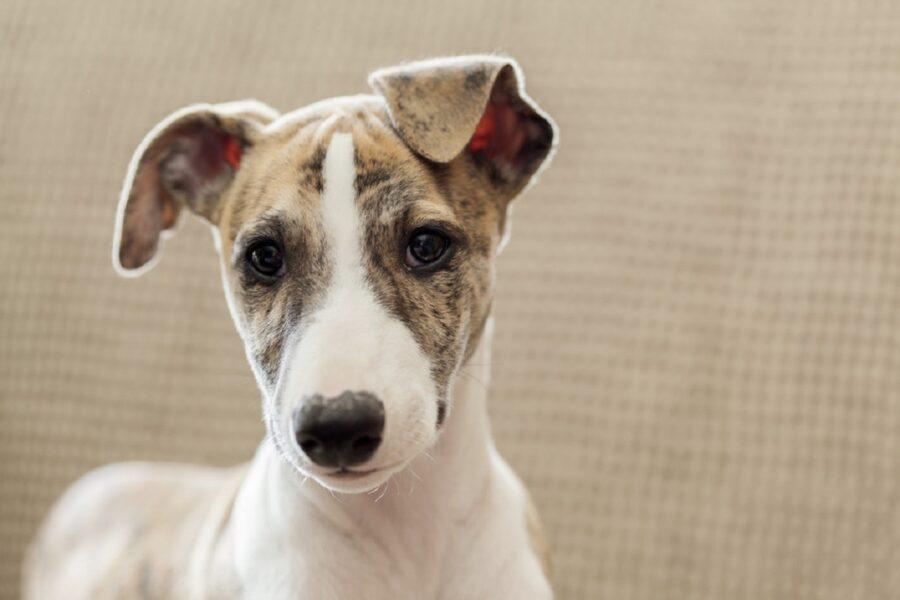 cane orecchie abbassate