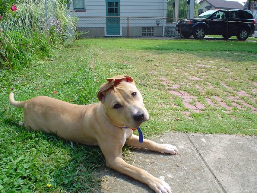 pitbull cane orecchie