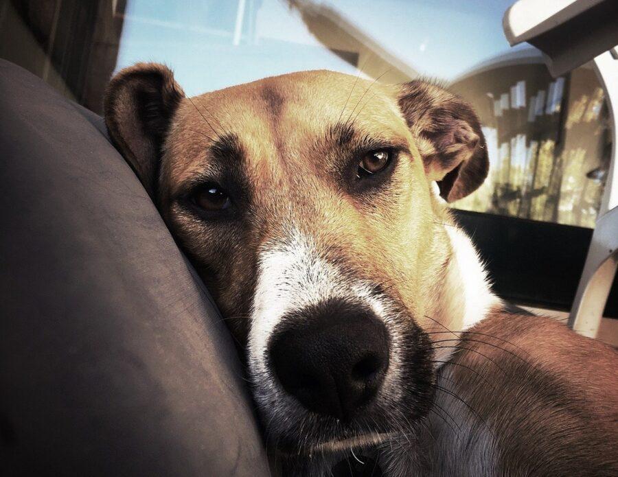 cane auto sconsolato