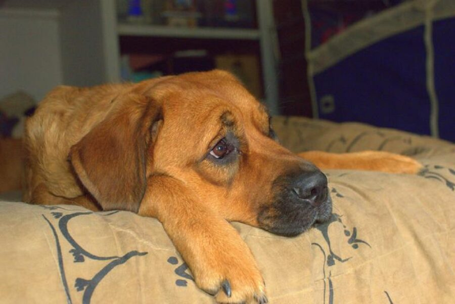 cane triste letto