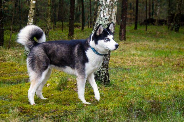 cucciolo cane siberiano