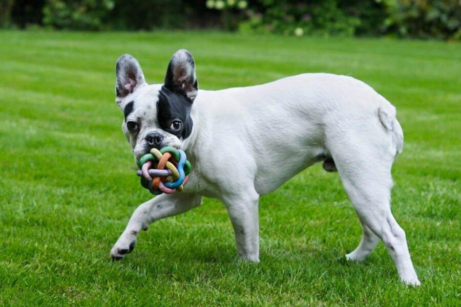 bulldog francese giocattolo