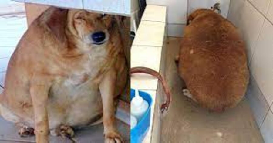 Bolinha cane obeso viene adottato e fa il bagno
