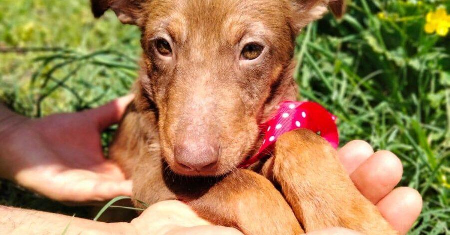 Cane in adozione Cioccolatina