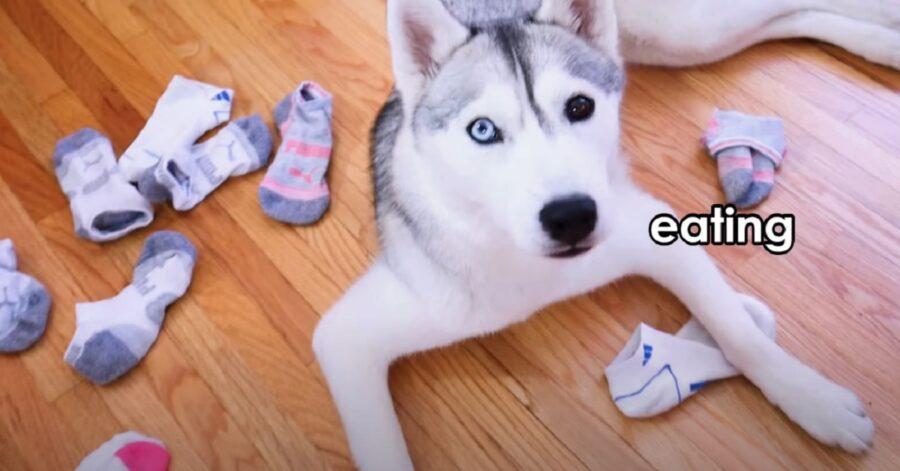 Cucciola di Siberian Husky che ruba i calzini (