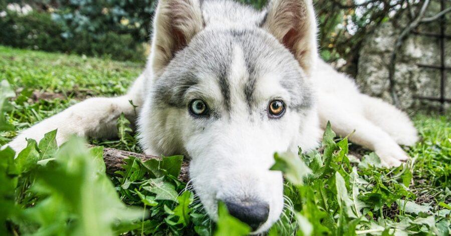Cucciola di Siberian Husky che ruba i calzini