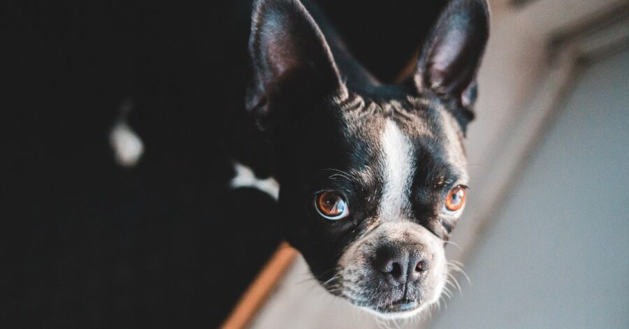 Cucciolo di Bulldog francese fa strani suoni con il naso