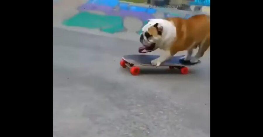 Cucciolo di Bulldog inglese gioca con lo skateboard