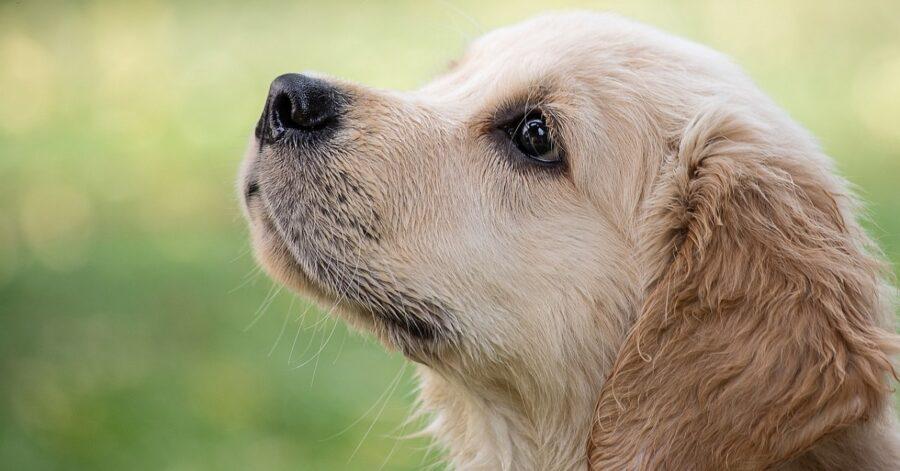 Cucciolo di Golden Retriever che adora abbracciare i suoi genitori umani