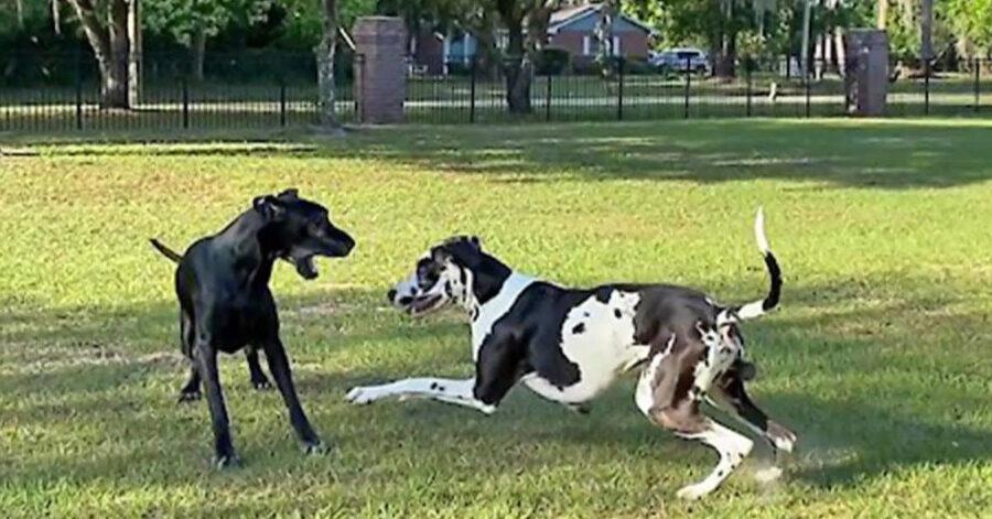 Due cani Alano che giocano