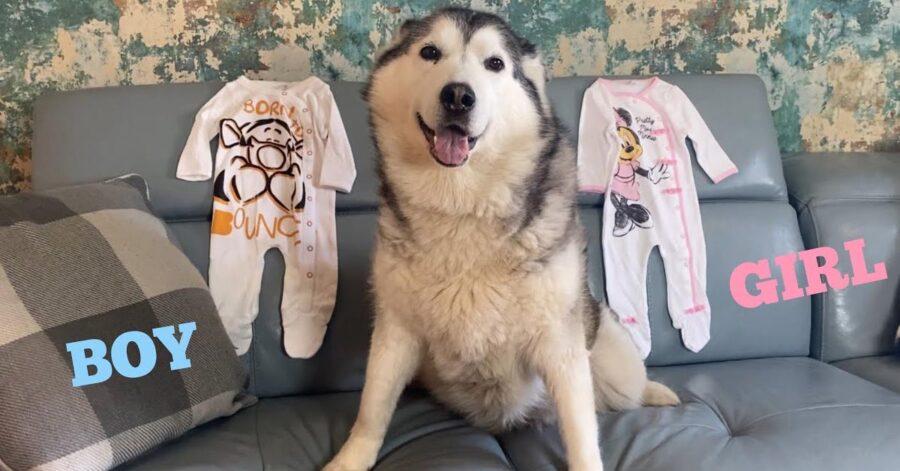 Husky con vestitini da bambino