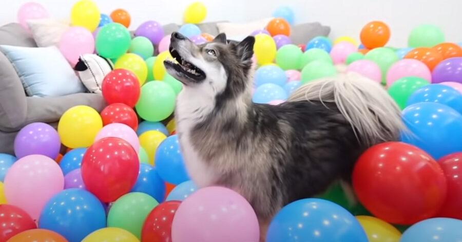 Husky tra i palloncini