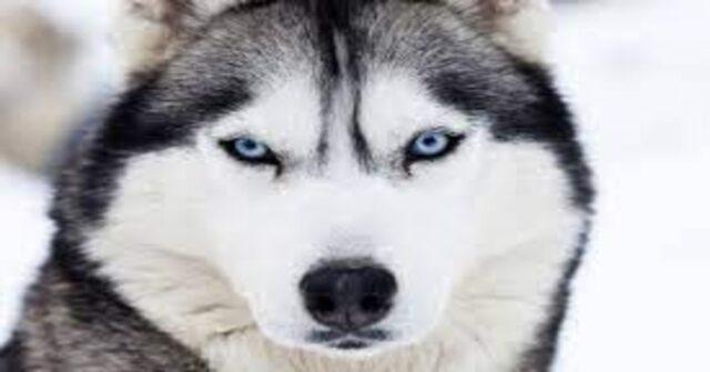 Husky primo piano