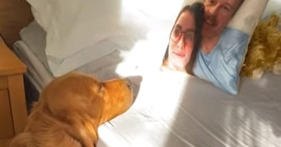 Huxley Golden Retriever cuscino video