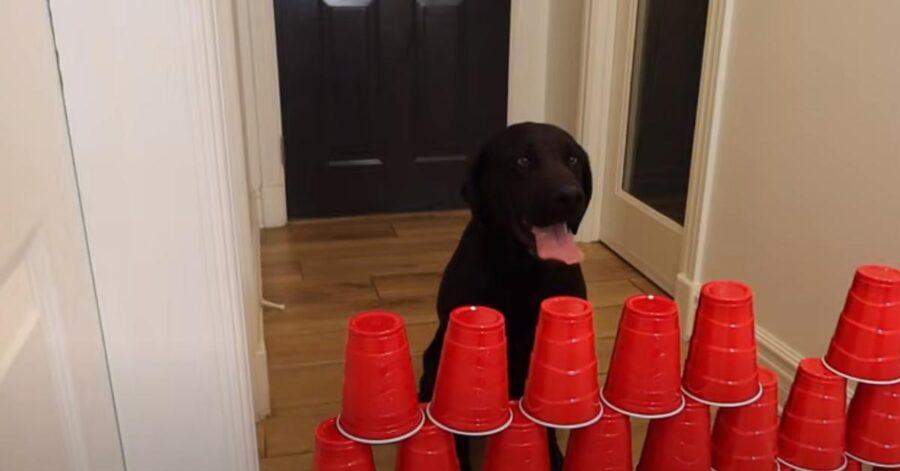 Labrador di fronte ad un muro di bicchieri