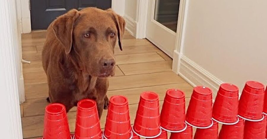 Cane che osserva un muro di bicchieri