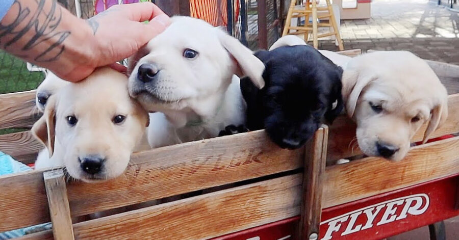 Labrador che giocano