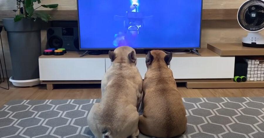 Bulldog Francese guardano la tv