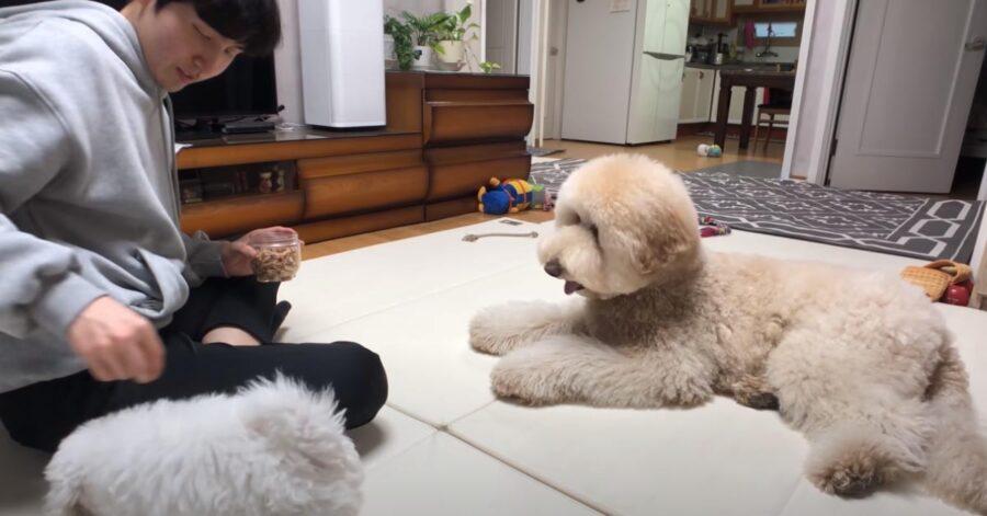 Cani che giocano con il proprietario