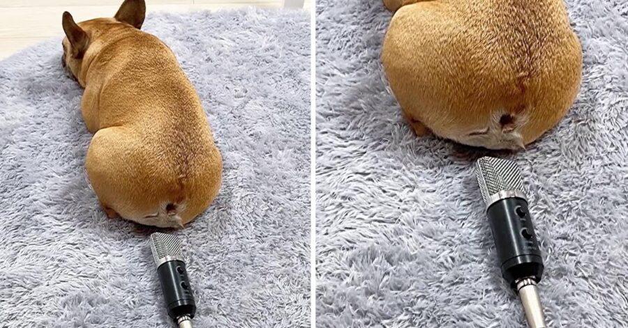 Bulldog Francese con un microfono per le puzzette