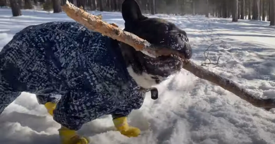 Bulldog Francese nella neve