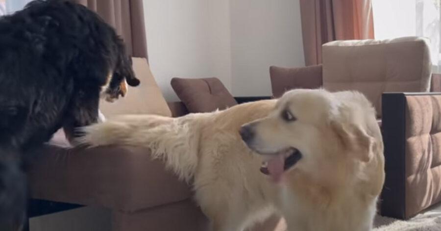 Il Golden Retriever e il Bovaro del Bernese giocano a nascondino (video)