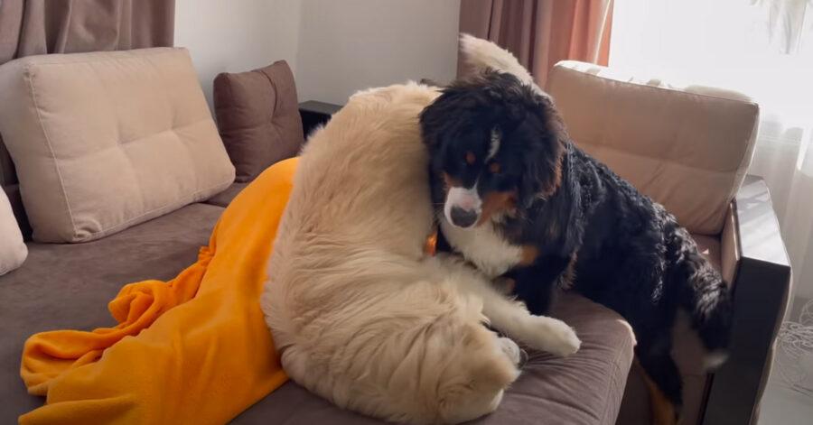 Golden Retriever e Bovaro del Bernese che giocano insiemei modi a svegliare il padrone (video) 1