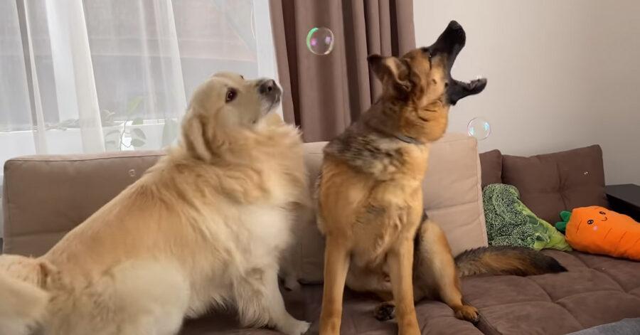 Il Golden Retriever e il Pastore Tedesco si affrontano per la prima volta in una gara di bolle di sapone