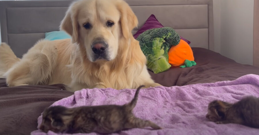 Golden Retriever con dei gattini