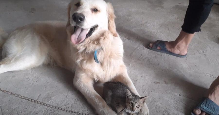 Golden Retriever incontra gattino