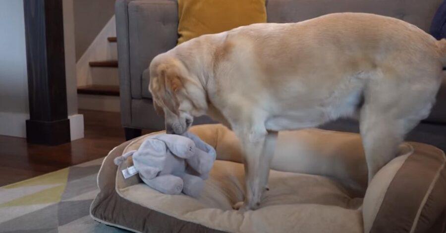 Labrador che gioca con un peluche