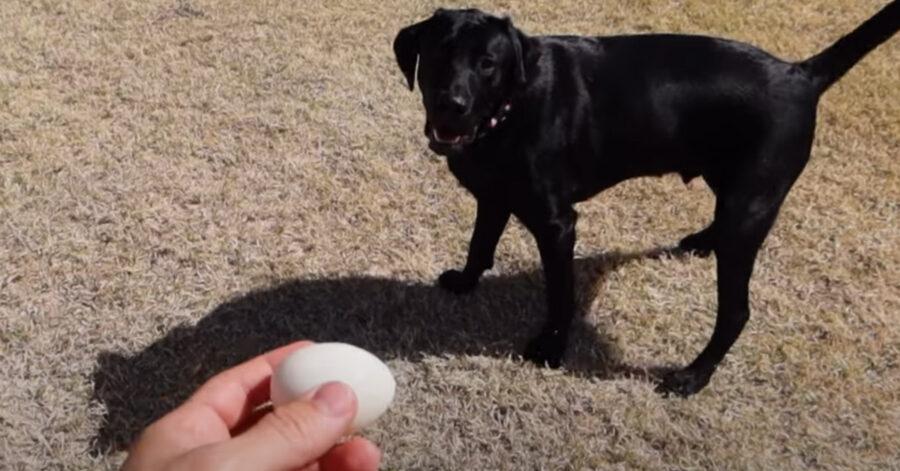 Il Labrador prova per la prima volta a prendere il cibo al volo e il risultato è tutto da ridere