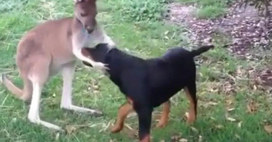 Rottweiler che gioca con un canguro