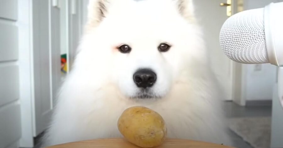 Cane Samoiedo che osserva una patata