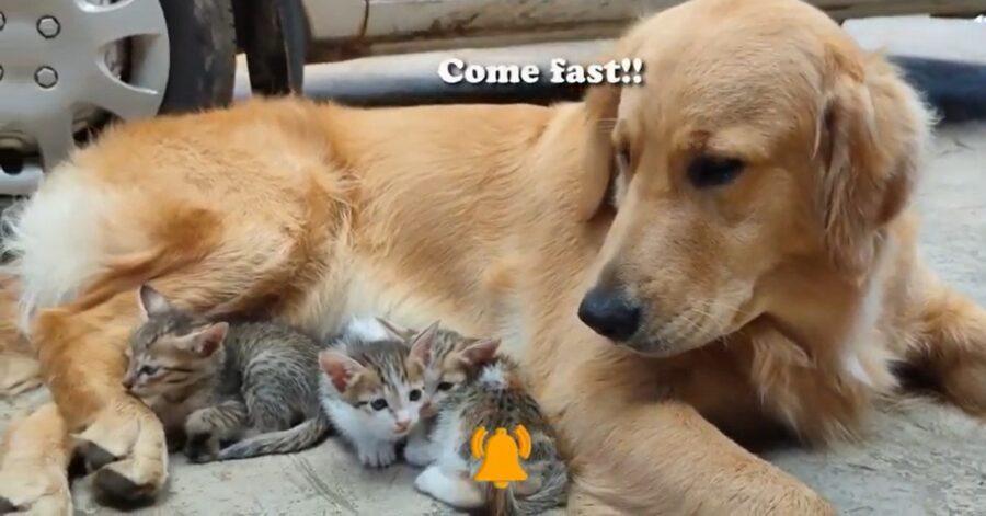 Il cucciolo di Golden Retriever fa da babysitter ai gattini (VIDEO)